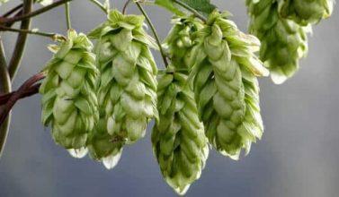 luppolo per realizzare birra artigianale